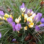 One of 2 remaining crocus clumps!